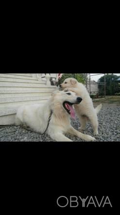 Розплідник White Dog реализует щенят білої швейцарської вівчарки найкраща собака. Коломыя, Ивано-Франковская область. фото 1