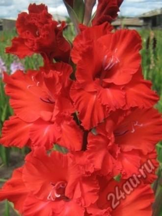 Луковичное красиво цветущее растение с периодом покоя, возможностью выгонки к лю. Чугуев, Харьковская область. фото 5