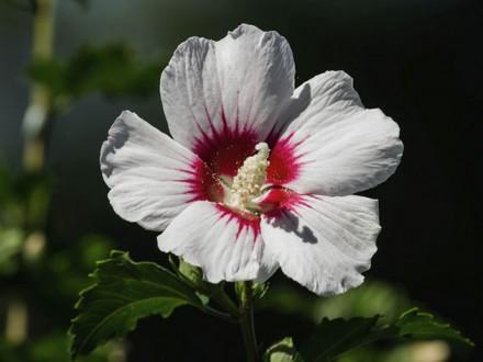 Гибискус сирийский неприхотливый  красиво цветущий, зимостойкий кустарник, любит. Чугуев, Харьковская область. фото 4