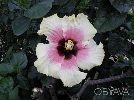 Гибискус сирийский неприхотливый  красиво цветущий, зимостойкий кустарник, любит. Чугуев, Харьковская область. фото 1