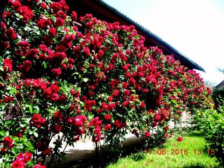 Розы плетистые. Киев. фото 1
