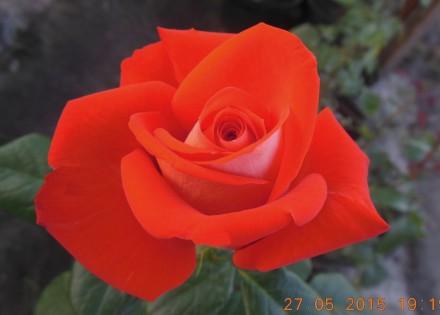 Розы кустовые. Киев. фото 1