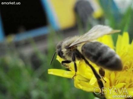 Продаю 4-рамкові бджолопакети карпатської породи бджіл з 10 травня. Кількість пр. Тысменица, Ивано-Франковская область. фото 1