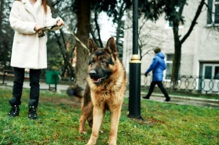 Продам німецьку вівчарку. Дата народження 07.10.2018 р. Собака має міцну структ. Львов, Львовская область. фото 5
