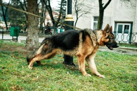 Продам німецьку вівчарку. Дата народження 07.10.2018 р. Собака має міцну структ. Львов, Львовская область. фото 6