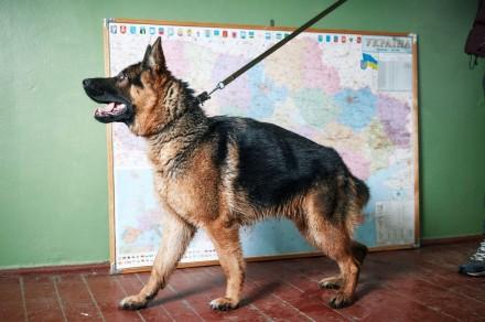 Продам німецьку вівчарку. Дата народження 07.10.2018 р. Собака має міцну структ. Львов, Львовская область. фото 4