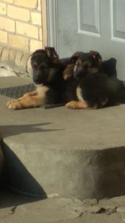 Чистокровные щенки немецкой овчарки для охраны. Родились в декабре, обработка от. Черкассы, Черкасская область. фото 4