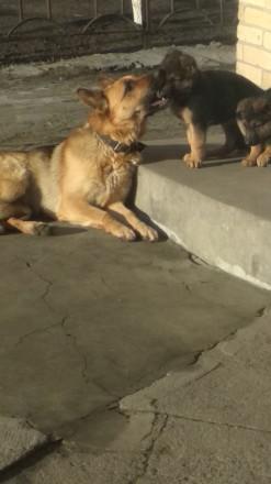 Чистокровные щенки немецкой овчарки для охраны. Родились в декабре, обработка от. Черкассы, Черкасская область. фото 3