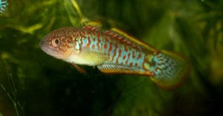 Элеотрис ковровый(Tateurndina ocellicauda) ~2,5 см Рыбки очень мирные, они факт. Киев, Киевская область. фото 3