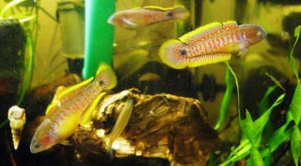 Элеотрис ковровый(Tateurndina ocellicauda) ~2,5 см Рыбки очень мирные, они факт. Киев, Киевская область. фото 2
