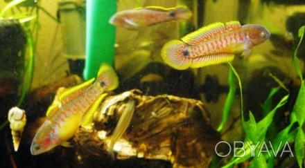 Элеотрис ковровый(Tateurndina ocellicauda) ~2,5 см Рыбки очень мирные, они факт. Киев, Киевская область. фото 1