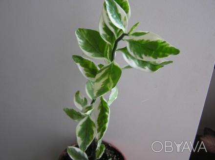 Красивое  деревоподобное растение с необычными плотными листьями. Хмельницкий, Хмельницкая область. фото 1