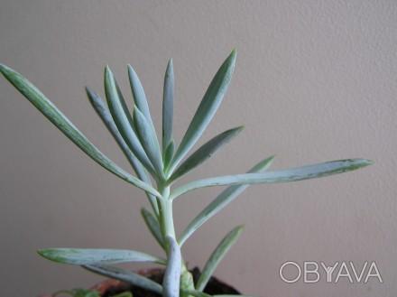 Нежное растение, растет очень быстро.. Хмельницкий, Хмельницкая область. фото 1