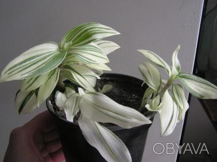 Неприхотливое вьющееся растение.. Хмельницкий, Хмельницкая область. фото 1