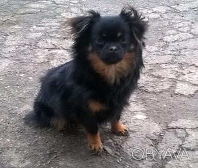 Маленькая собачка мальчик без хвоста порода Чихуахуа. Игривая шустрая, родился п. Черновцы, Черновицкая область. фото 1