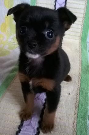 Маленькая собачка чихуахуа, мальчик, родился 13.01.2020. прививки по возрасту, п. Черновцы, Черновицкая область. фото 3
