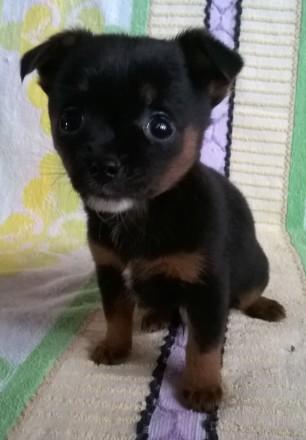 Маленькая собачка чихуахуа, мальчик, родился 13.01.2020. прививки по возрасту, п. Черновцы, Черновицкая область. фото 4