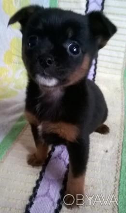 Маленькая собачка чихуахуа, мальчик, родился 13.01.2020. прививки по возрасту, п. Черновцы, Черновицкая область. фото 1