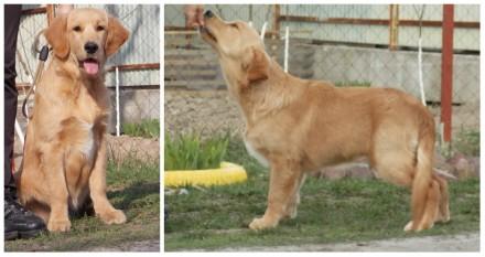 Ретривера превосходные щенки!. Киев. фото 1