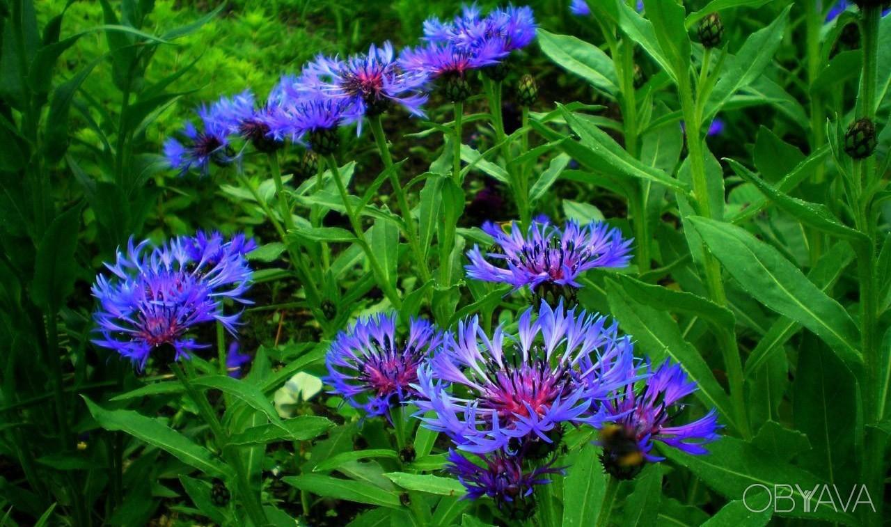 Виды многолетних луговых цветов и трав - Энциклопедия цветов