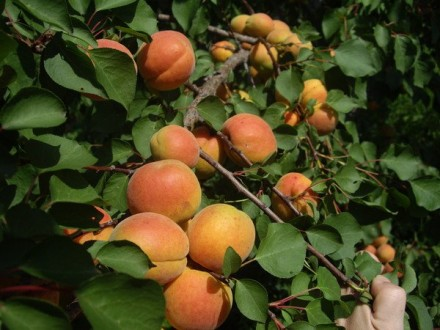 Саженцы абрикоса. Дніпро. фото 1