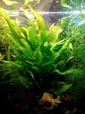 Аквариумное растение папоротник Микросорум крыловидный тайландский.. Запорожье. фото 1