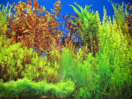 Набор красных аквариумных растений. Запорожье. фото 1