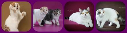 Шотландские коты и кошки. Львів. фото 1