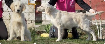 Золотистого ретривера щенки. Киев. фото 1