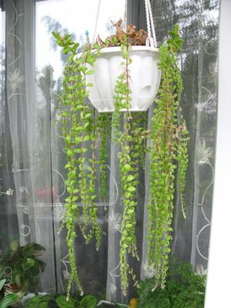 Вьющийся суккулент. Комнатные растения. Житомир. фото 1