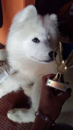 Щенки самоеда (самоедская собака). Вінниця. фото 1