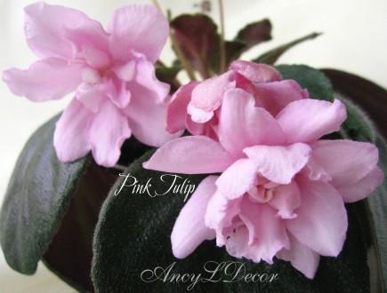 Фиалки сортовые, детка Pink Tulip - огромные красивые цветы-магнолии. Киев. фото 1