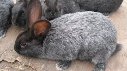 Продам кроликов пород Полтавское серебро и Белый Паннон. Мариуполь. фото 1