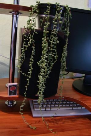 крестовник, ампельное комнатное растение, суккулент. Тростянец. фото 1