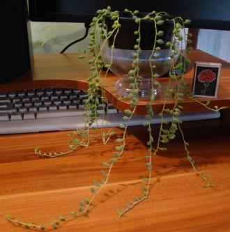 продам крестовники, 1) - длина наибольшей ветки 50 см за 115 грн, 2) - длина наи. Тростянец, Сумская область. фото 5