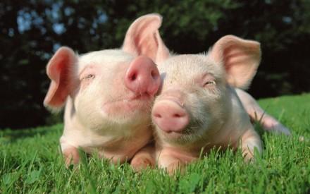 Продам действующую свиноферму в Днепропетровской области. Днепр. фото 1