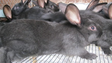Крольчата породы серебристый. Мариуполь. фото 1