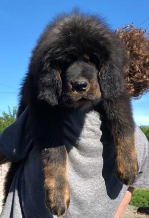 Элитные щенки тибетского мастифа. Київ. фото 1