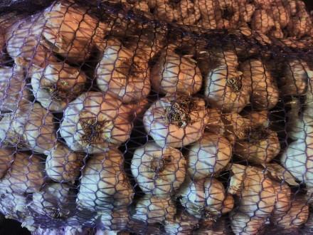 Купить насіння часнику озимого, продам насіння часнику. Житомир. фото 1