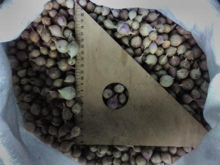 продам чеснок на посадку семена чеснока много сортов. Житомир. фото 1