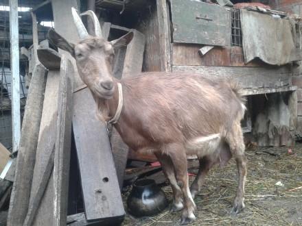Коза дойная молочной породы. Чернигов. фото 1