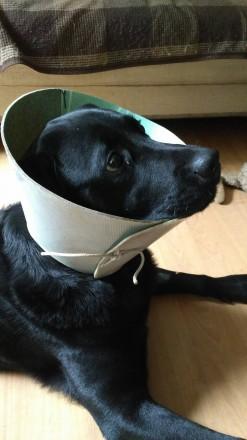Защитный воротник(ветеринарный конус)для собак. Киев. фото 1