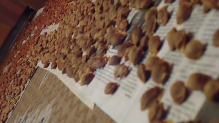 Абрикосовая косточка (нечищенная) – вкуснота против рака (цена за кг). Полтава. фото 1