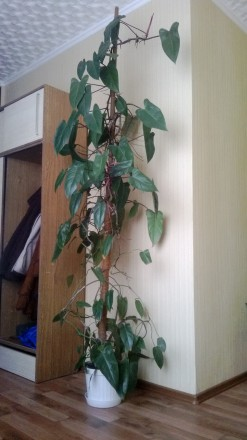 Филодендрон Red Emarald. Около 10 лет. В вазоне 4 шт. Высота 3 м.. Геническ, Херсонская область. фото 3