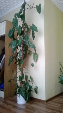 Филодендрон Red Emarald. Около 10 лет. В вазоне 4 шт. Высота 3 м.. Геническ, Херсонская область. фото 2
