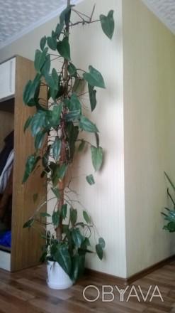 Филодендрон Red Emarald. Около 10 лет. В вазоне 4 шт. Высота 3 м.. Геническ, Херсонская область. фото 1