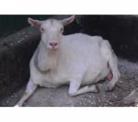 Продам элитных, молочных породистых козочек, козлят и племенных козлов. Гребенка. фото 1