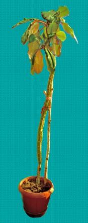 Молочай (Euphorbia leuconeura) 100 см.. Киев. фото 1