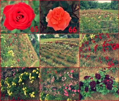 Кущі троянд. Калуш. фото 1