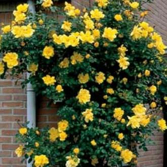 Плетисті троянди. Калуш. фото 1